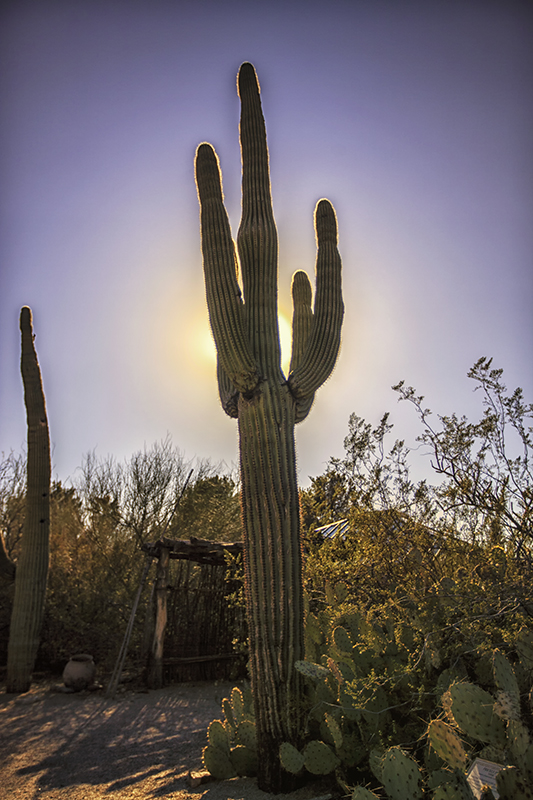 Cactus outlined by sun