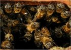 Honeybees crowded at hive entrance. Click for larger photo.